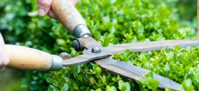 cutting plants with scissors